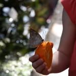 Tropische_Schmetterlinge_03