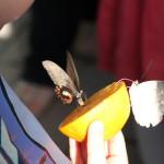 Tropische_Schmetterlinge_05