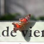 Tropische_Schmetterlinge_07