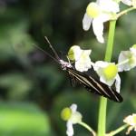 Tropische_Schmetterlinge_10
