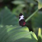Tropische_Schmetterlinge_11