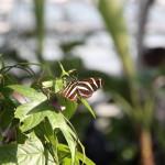 Tropische_Schmetterlinge_12