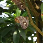 Tropische_Schmetterlinge_13
