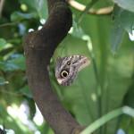 Tropische_Schmetterlinge_14