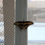 Tropische_Schmetterlinge_17