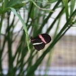 Tropische_Schmetterlinge_21
