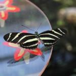 Tropische_Schmetterlinge_22
