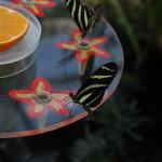 Tropische_Schmetterlinge_23