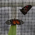 Tropische_Schmetterlinge_27