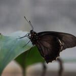 Tropische_Schmetterlinge_28