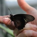 Tropische_Schmetterlinge_29
