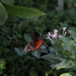 Tropische_Schmetterlinge_30