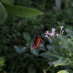Tropische_Schmetterlinge_31
