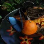 Tropische_Schmetterlinge_32