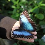 Tropische_Schmetterlinge_36